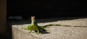 Leguan, Jaco Beach