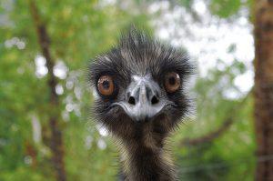 Emu Earnie